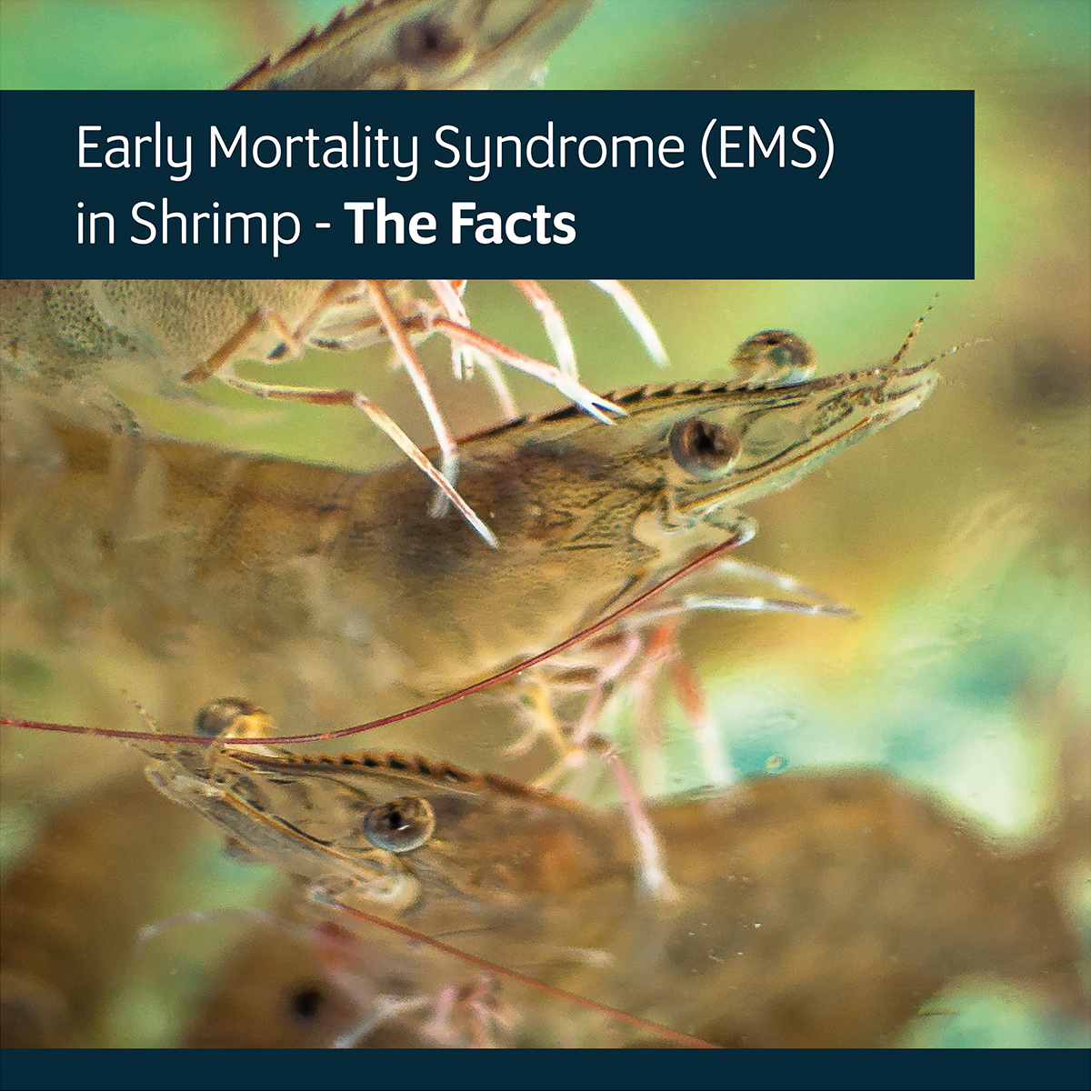Early Mortality Syndrome (EMS) in Shrimp – The Facts